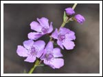 picture of small purple flower
